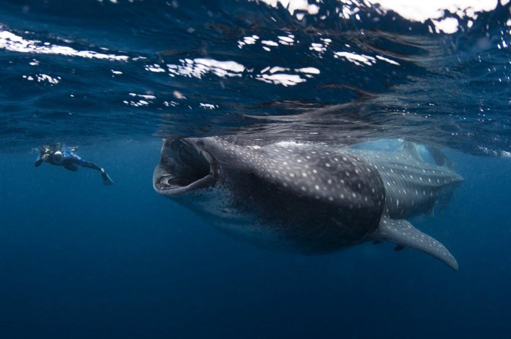 tiburon ballena en holbox