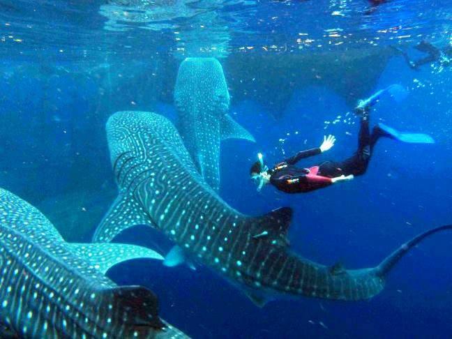 Convive con el Tiburón Ballena en Holbox