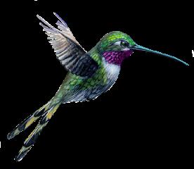 Colibri - Oiseau mouche dessin ...