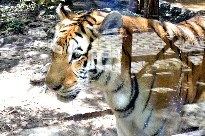 bel air tigre1