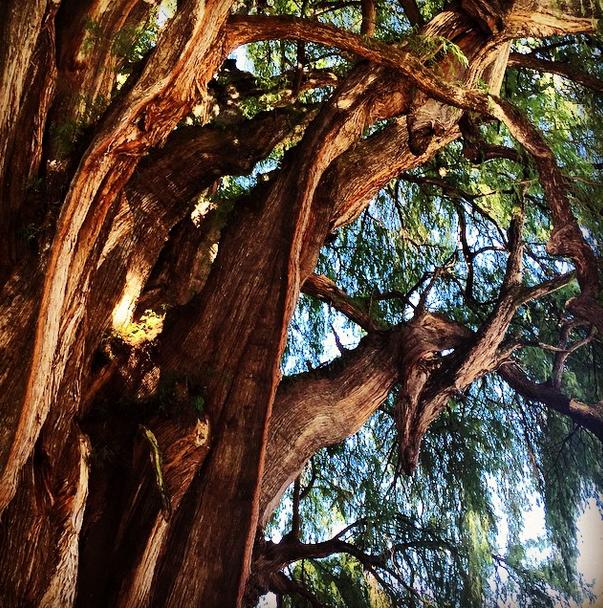 El Árbol del Tule: 10 Muy buenas razones para visitarlo