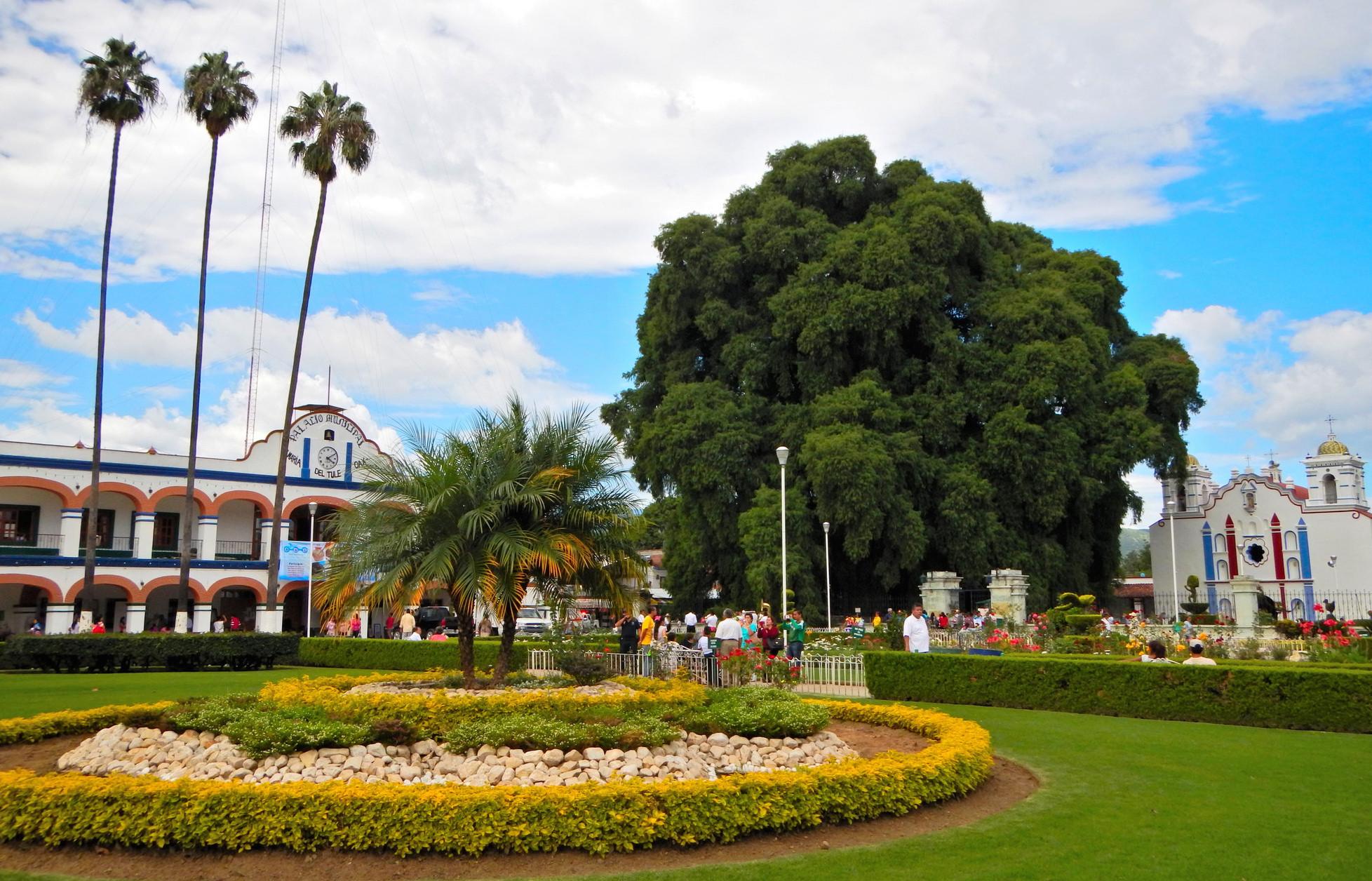 6 rboles mexicanos que son parte de nuestra frondosa historia for Cuales son los arboles perennes