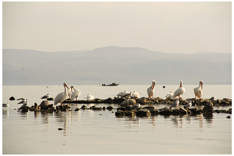Pelicanos en chapala