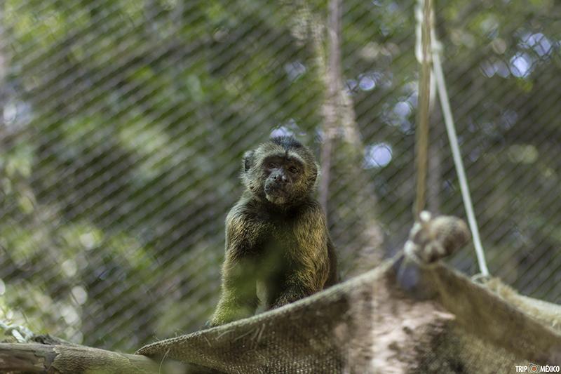 Un lugar llamado Akumal Monkey Sanctuary, Riviera Maya