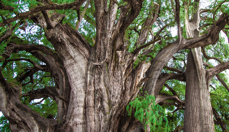 6 Mexican Trees that are part of our History